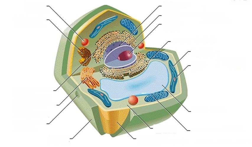 树突状细胞有无溶酶体