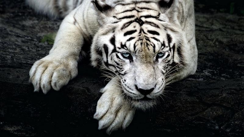那些被童话了的动物:白虎,神话或是鬼话?