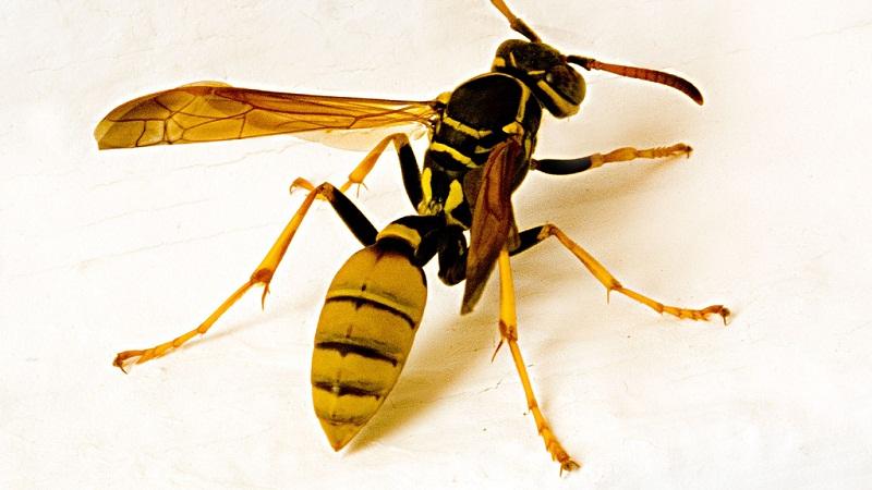 小东西大威力:胡蜂蜇伤可致命