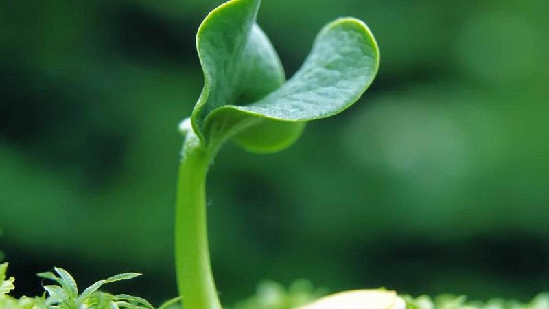细胞分裂素(ctk):对种子萌发及幼苗生长的调节作用