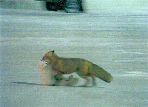 那些被童话了的动物:狡黠莫如狐?